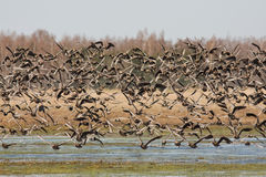 Greater White-fronted geese in flight Stock Photo