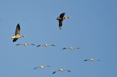 Greater White-Fronted Geese Flying Among the Snow Geese in a Blue Sky Royalty Free Stock Photo