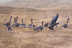 Greater White-fronted Geese Stock Photos