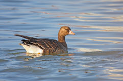 Greater White-fronted Goose Royalty Free Stock Images