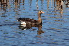 Greater White-fronted Goose (Anser albifrons). Swimming in blue water royalty free stock images