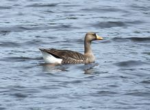 Greater White-fronted Goose (Anser albifrons) Stock Photography