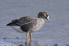 Greater white-fronted goose Anser albifrons. Greater white-fronted goose standing in water in its habitat royalty free stock images