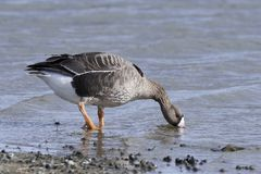 Greater white-fronted goose Anser albifrons. Greater white-fronted goose standing in water in its habitat stock photography