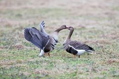 Greater white-fronted goose Anser albifrons in its natural hab royalty free stock photo