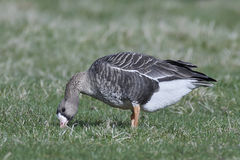 Greater white-fronted goose Anser albifrons. Greater white-fronted goose looking for food in its habitat stock photography