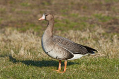 Greater white-fronted goose (Anser albifrons) Stock Photos