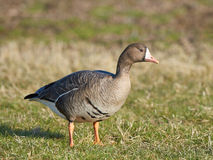 Greater white-fronted goose (Anser albifrons) Royalty Free Stock Image