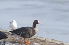 Greater White-fronted Goose Anser albifrons. The Greater White-fronted Goose Anser albifrons is a species of goose. The Greater White-fronted Goose is more stock photo