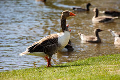 Greater white fronted goose on coast Stock Photo