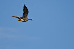 Greater White-Fronted Goose Flying in a Blue Sky Royalty Free Stock Photography