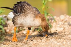 Greater white fronted goose Stock Photography