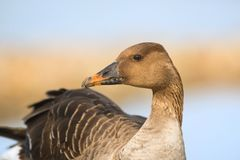 Greater white fronted goose Royalty Free Stock Photography