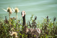 Greater white-fronted goose. On greenery and pond water background royalty free stock photos