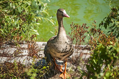 Greater white-fronted goose. On greenery and pond water background stock photos