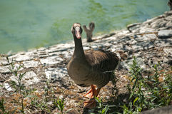Greater white-fronted goose Stock Images