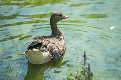 Greater white-fronted goose. On greenery and pond water background royalty free stock photo