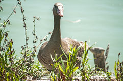 Greater white-fronted goose. On greenery and pond water background royalty free stock photography