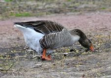 A Greater White-fronted Goose Searching For Food. This is a Spring picture of a Greater White-fronted Goose searching for food  along the North Pond in Lincoln stock image