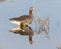 Greater White-fronted Goose. The greater white-fronted goose is a species of goose related to the smaller lesser white-fronted goose. It is named for the patch royalty free stock photography