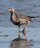 Greater White-fronted Goose. The greater white-fronted goose is a species of goose related to the smaller lesser white-fronted goose. It is named for the patch royalty free stock image