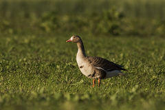 Greater White-fronted goose in summer. Greater White-fronted goose, Lithuania royalty free stock image