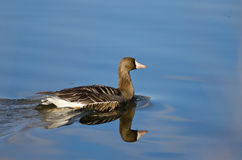 Greater White-Fronted Goose Swimming in the Lake. Lone Greater White-Fronted Goose Swimming in the Lake stock photos