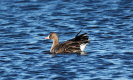 Greater White-Fronted Goose on the Water Stock Image