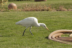 Greater white heron. In a park Stock Photo