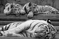 Greater white tigress and its kittens Stock Images