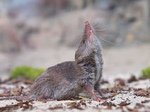 Greater white-toothed shrew (Crocidura russula) Royalty Free Stock Images