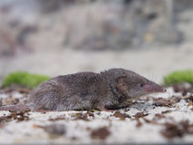 Greater white-toothed shrew (Crocidura russula). Sideview Royalty Free Stock Photography