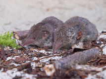 Greater white-toothed shrew (Crocidura russula). A couple of Greater white-toothed shrew (Crocidura russula Stock Image