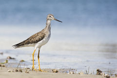 Greater Yellow Legs Stock Photography