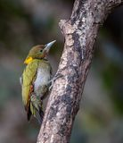 Greater yellow nape woodpecker. Mountain hills Himalayan nectar fruits branch green yellow birds Royalty Free Stock Photography