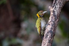 Greater yellow nape woodpecker. Mountain hills Himalayan nectar fruits branch green yellow birds Royalty Free Stock Images