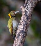 Greater yellow nape woodpecker. Mountain hills Himalayan nectar fruits branch green yellow birds Royalty Free Stock Photo