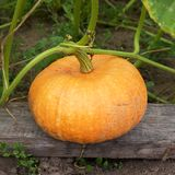 Greater yellow pumpkin Royalty Free Stock Photos