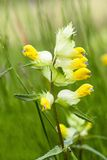 Greater Yellow-rattle Stock Photo