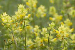 Greater Yellow Rattle Stock Images