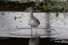 Greater yellowleg Royalty Free Stock Photos