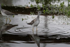 Greater yellowleg. A greater yellowleg sandpiper in a ditch puddle with highly detailed ripples and a off focus green and brown background Stock Photography