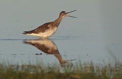 The Greater Yellowlegs Royalty Free Stock Photography