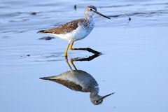 Greater Yellowlegs. Feeding in shallow marsh with a perfect reflection Royalty Free Stock Photography
