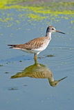 Greater Yellowlegs Stock Photo