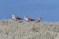 Greater Yellowlegs Stock Photos