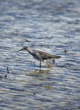 Greater Yellowlegs Royalty Free Stock Photo