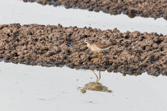 Greater yellowlegs bird Stock Image