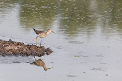 Greater yellowlegs bird Stock Photos