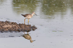 Greater yellowlegs bird Stock Photography